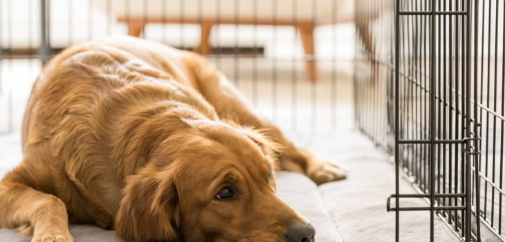 Dog Crate Size For Lab – How Big And What Type Should It Be