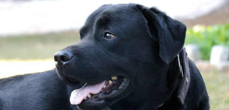 What Is The Black Lab Average Life Span And How To Extend It