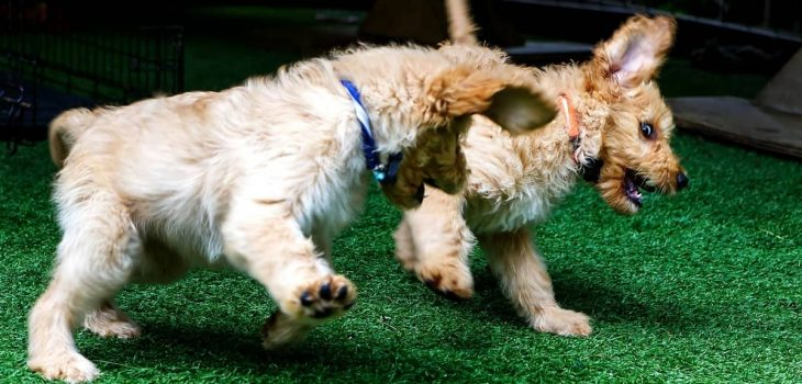 How To Train A Labradoodle Puppy – All The Basics To Get You Started